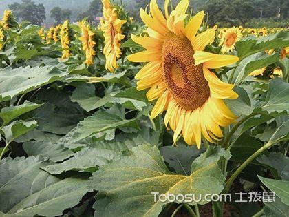 向日葵什么时候开花 矮向日葵种植方法
