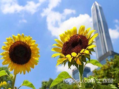 向日葵怎么养 向日葵种子怎么种 向日葵图片
