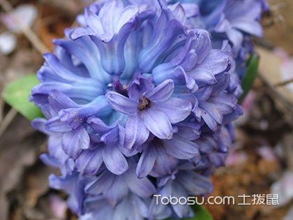 風信子怎么繁殖,風信子開花后怎么處理