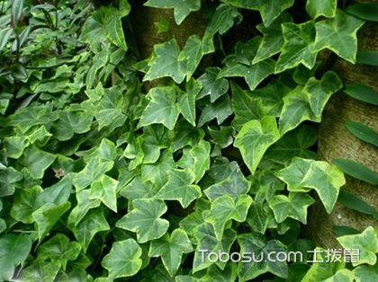 常春藤的作用 常春藤的种类