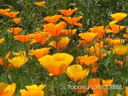 花菱草什么时候播种 花菱草的繁殖方法