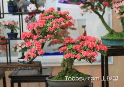 杜鹃盆景的制作 杜鹃盆景快速成型的方法及技巧