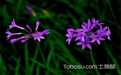 紫娇花的花语是什么 紫娇花的资料 紫娇花图片