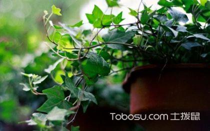 常春藤的繁殖方法 常春藤叶子发蔫怎么办