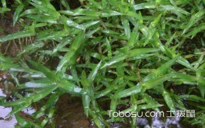水竹叶是什么,水竹叶的危害,水竹叶图片