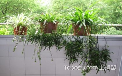 吊兰的种类,吊兰繁殖方法