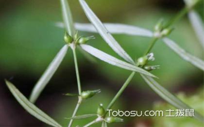 白花蛇舌草的功效与作用 白花蛇舌草的副作用