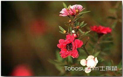 松红梅叶子发黄怎么办 松红梅的养护方法