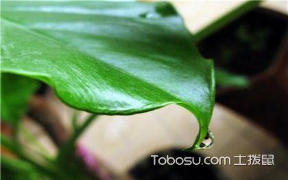 滴水观音什么时候开花 滴水观音花语 滴水观音开花图片
