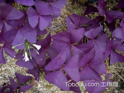 紫叶酢浆草有毒吗 紫叶酢浆草花语