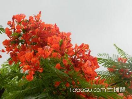 凤凰木的特点,凤凰木的花期和花语