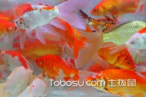 观赏型红鲫鱼