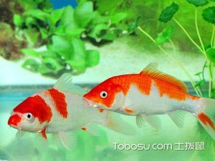 常見的風水魚有哪些?家居裝修風水養魚好不好?