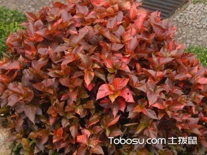红桑的品种 红桑的养殖方法 红桑图片