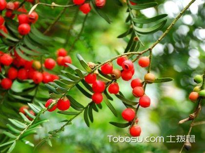 红豆杉有毒吗 红豆杉的功效与作用 红豆杉图片