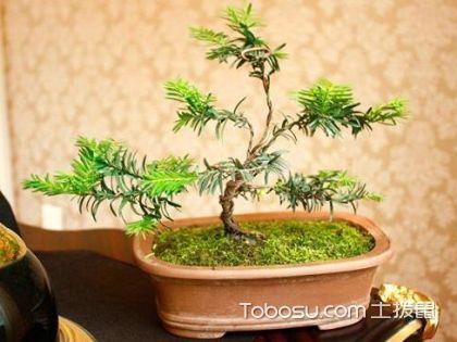 红豆杉盆景制作方法 红豆杉盆景价格是多少