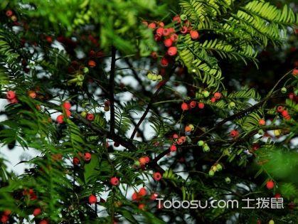 红豆杉怎么养,红豆杉的养殖方法,红豆杉图片
