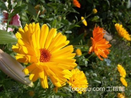 金盏菊怎么养 金盏菊的花语是什么 金盏菊图片