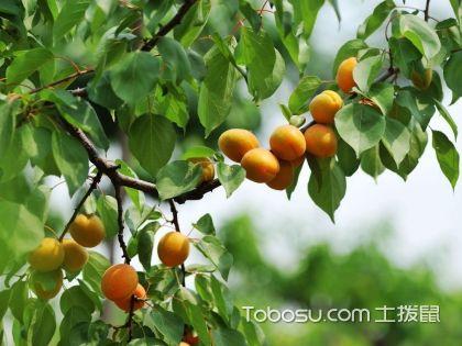 杏樹管理方法,杏樹病蟲害防治,杏樹圖片大全