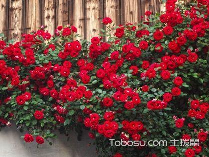 藤本月季和蔷薇有什么区别 藤本月季哪个品种好