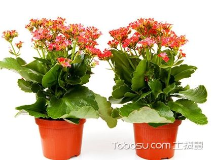 长寿花有毒吗?长寿花可以放在卧室吗?