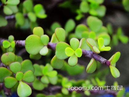 馬齒莧樹的繁殖管理方法,馬齒莧樹有毒嗎