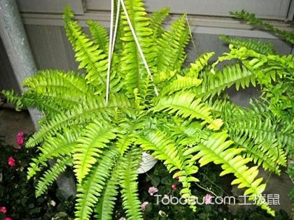 波斯頓蕨葉子發黃怎么辦?怎么防止波斯頓蕨葉子發黃?