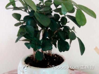 九里香盆栽的功效與作用是什么?種植注意事項有哪些?