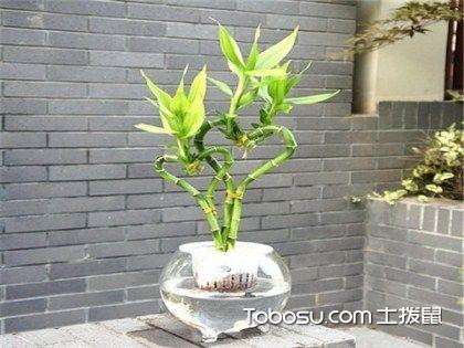 富贵竹种类有哪些?富贵竹介绍