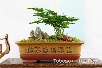掌握矮云竹盆景的养殖方法,为自家增添光彩
