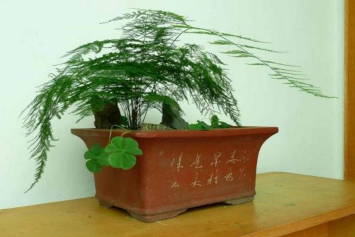 矮文竹的养殖方法和注意事项,看完你就全明白了