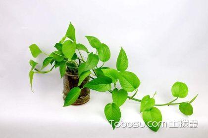 吸甲醛的室内植物,让室内空气更清新