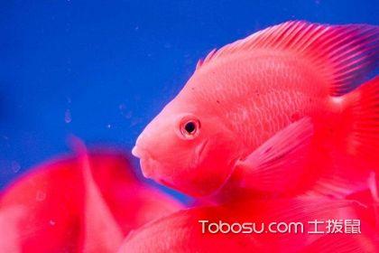 红鹦鹉鱼怎么养,红鹦鹉鱼的正确养殖方法