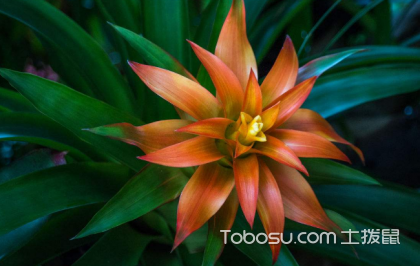 凤梨花能放在卧室吗,什么花放在卧室最好?