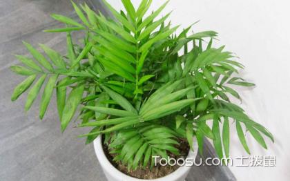 袖珍椰子好还是散尾葵好,详细了解一下两种植物
