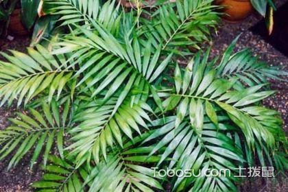 袖珍椰子散尾葵,如何来区别