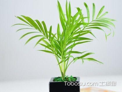 富贵椰子叶子发黄变干,这样的处理方法更好。