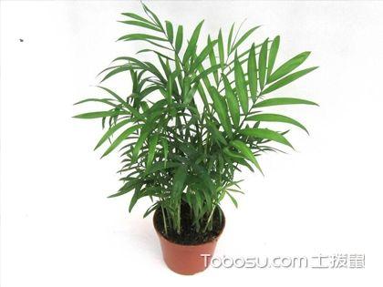 如何区分袖珍椰子和凤尾竹?袖珍椰子和凤尾竹的区别是什么?