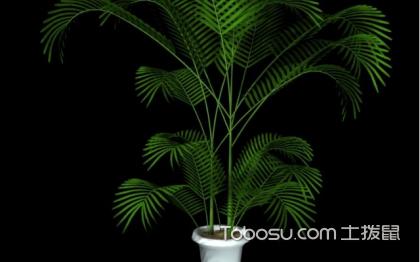 鳳尾竹擺放位置,鳳尾竹如何養殖呢?
