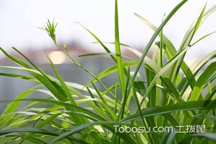 吊兰怎么分盆,吊兰的分盆繁殖方法