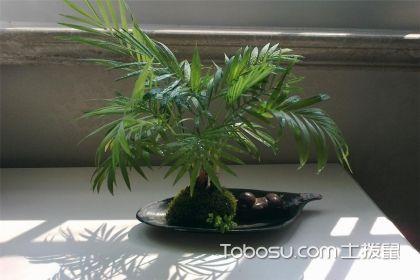 凤尾竹和袖珍椰子的区别,从7个方面教你轻松分辨