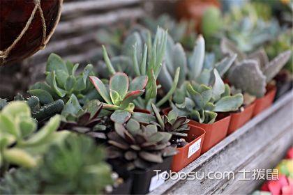 治愈系植物小肉肉的成長之路,室內多肉植物如何養殖