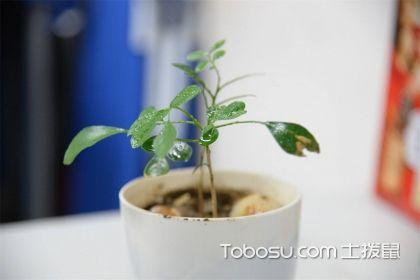 九里香盆栽如何養護,有哪些注意事項?
