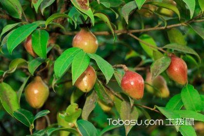 家居油茶树怎么养?油茶树养殖知识介绍