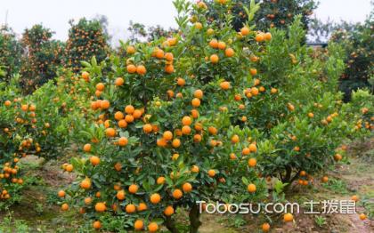 金桔樹養殖方法介紹,這樣養最合適