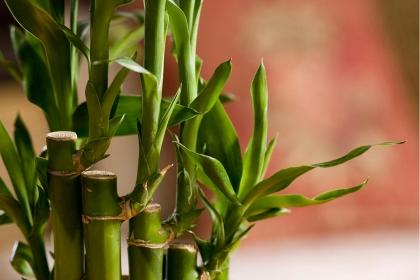 哪些植物有利于家居風水?旺財風水植物如何擺放?