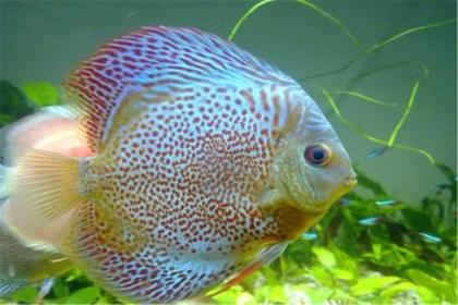 常见的风水鱼有哪几种,风水鱼该如何养殖