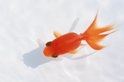 养什么鱼风水好,家里养鱼的风水注意事项