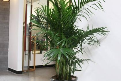 凤尾竹的风水作用,家里养凤尾竹好不好?