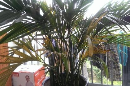 富贵椰子叶子发黄怎么办?栽培富贵椰子这些技巧要知道